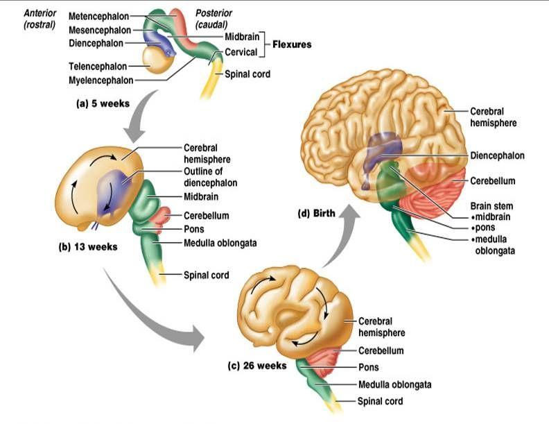 Brain Vesicles Prosencephalon The Forebrain Mesencephalon Midbrain ...