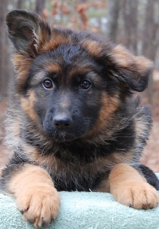 Amsel Von Den Oher Tannen 8 Week Old Long Stock Coated Puppy