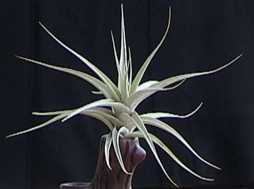 Tillandsia o planta de aire albida una variedad con hojas blancas ...