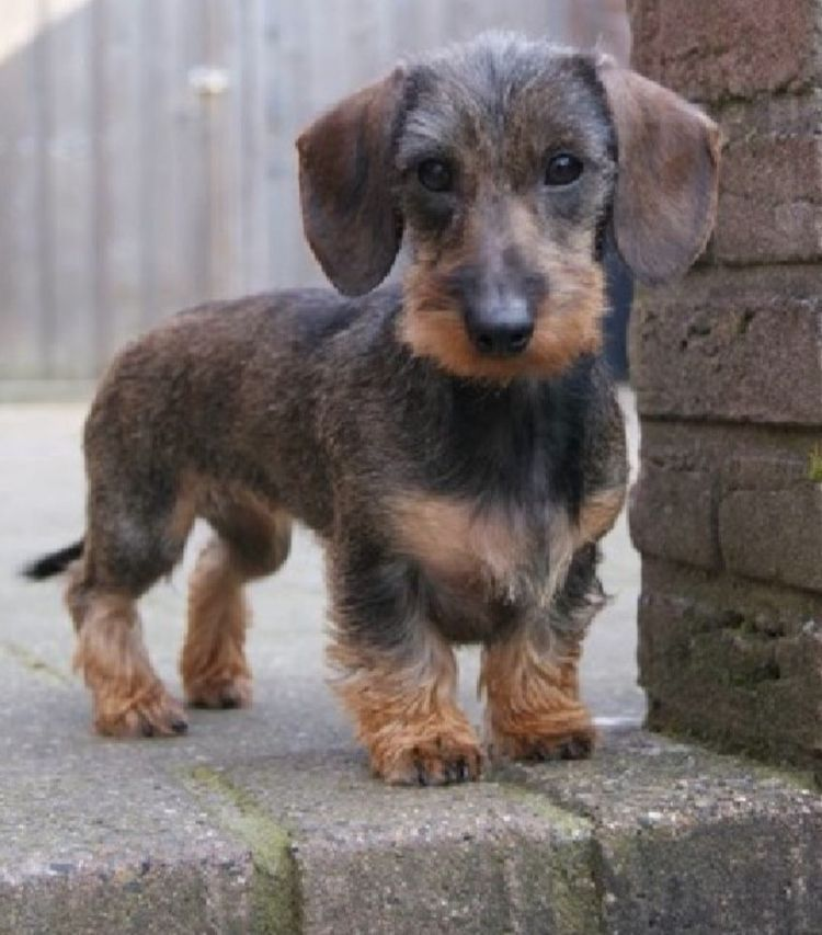 Pin By Bobandersoninaz On Wirehaired Dachshund Wire Haired