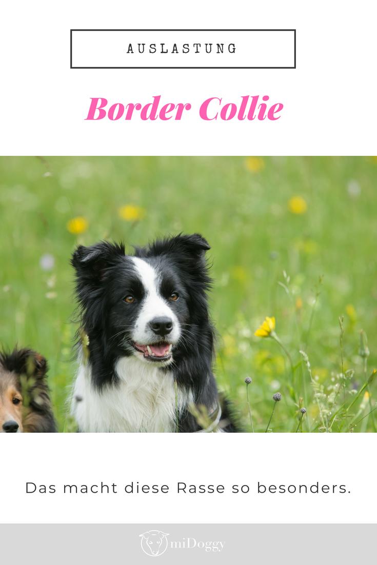 """""""das is'n border collie  kein dummer hund""""  dumme hunde"""