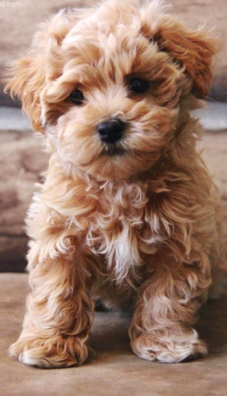 Cutie  cute | Puppy | Dog | animal | pets   - Dog puppy -