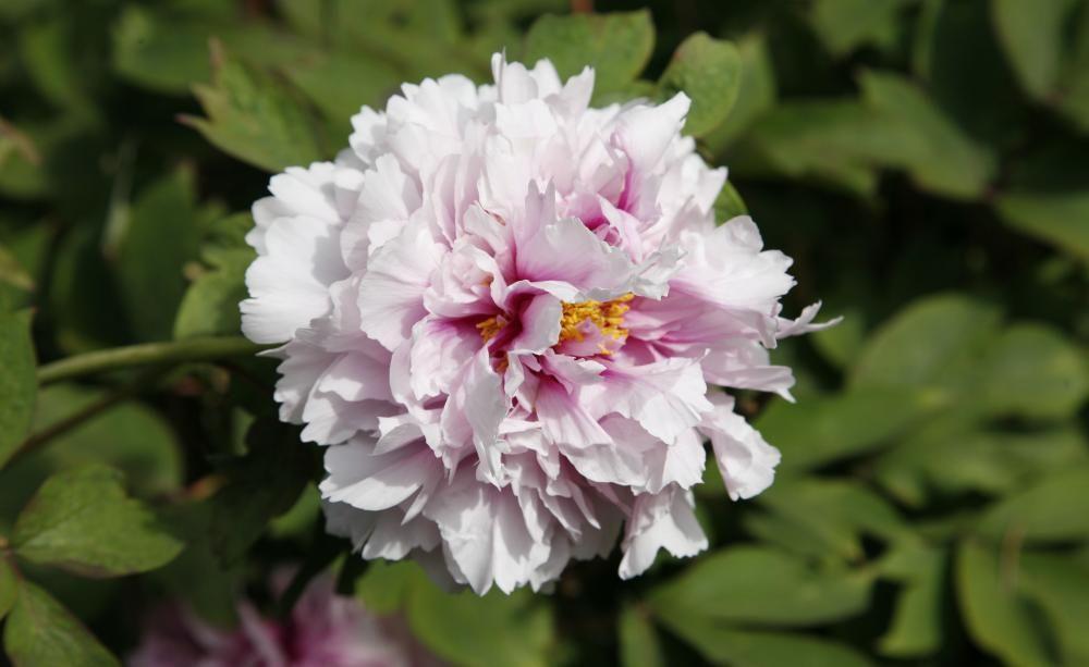 Pflanzen Im September strauch pfingstrosen richtig pflanzen peony and gardens