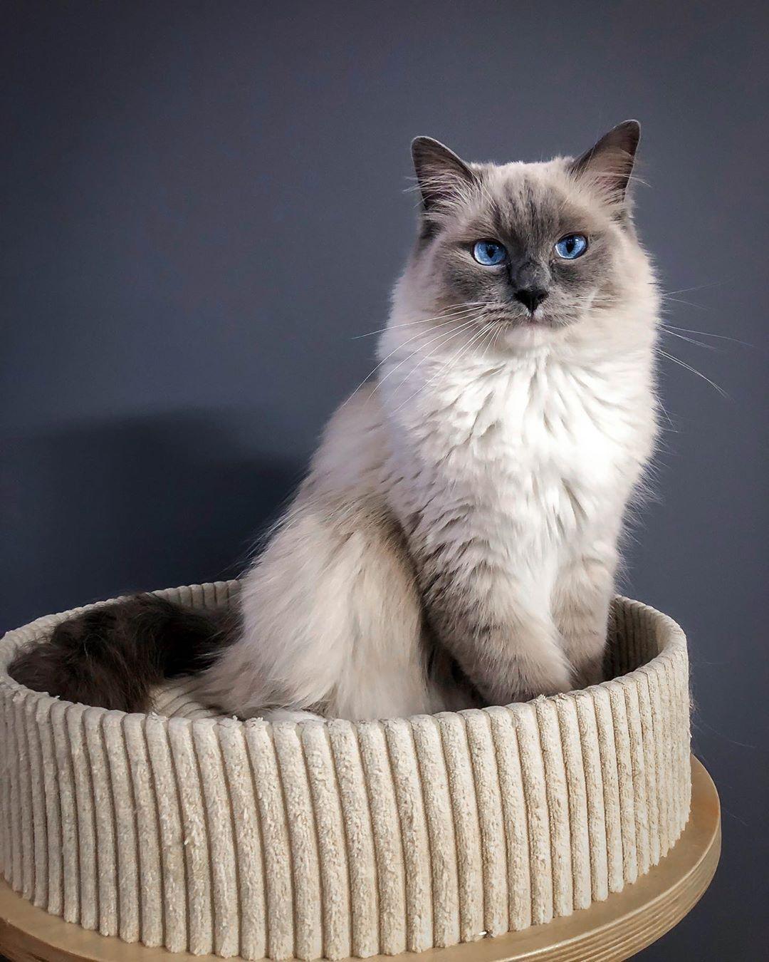 My Sweetheart Is Turning 2 Happy Birthday Lambert Cat Cats Catsofinstagram Cats Of Instagram Cats Of Fluffy Kittens Cat Day Ragdoll Kitten