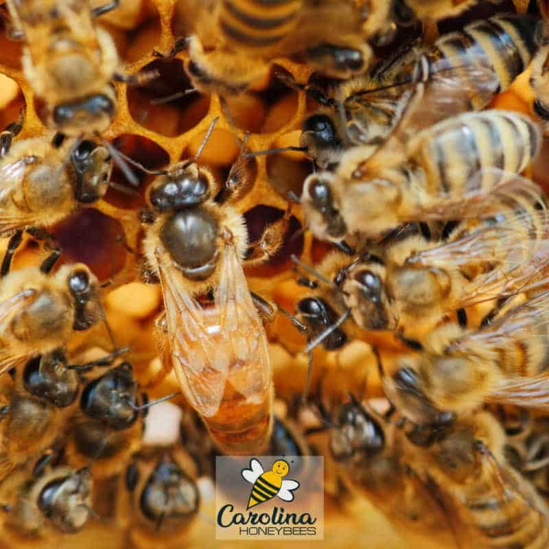 Honey Bee SwarmingWhat You Need to Know Honey bee swarm