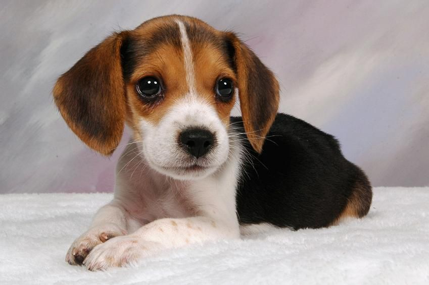 Beagle Puppy Pictures Beagle Puppy Puppies Top 10 Dog Breeds