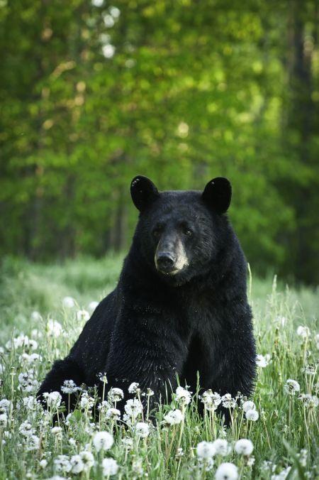 Black Bear and the wildflowers dandelions: