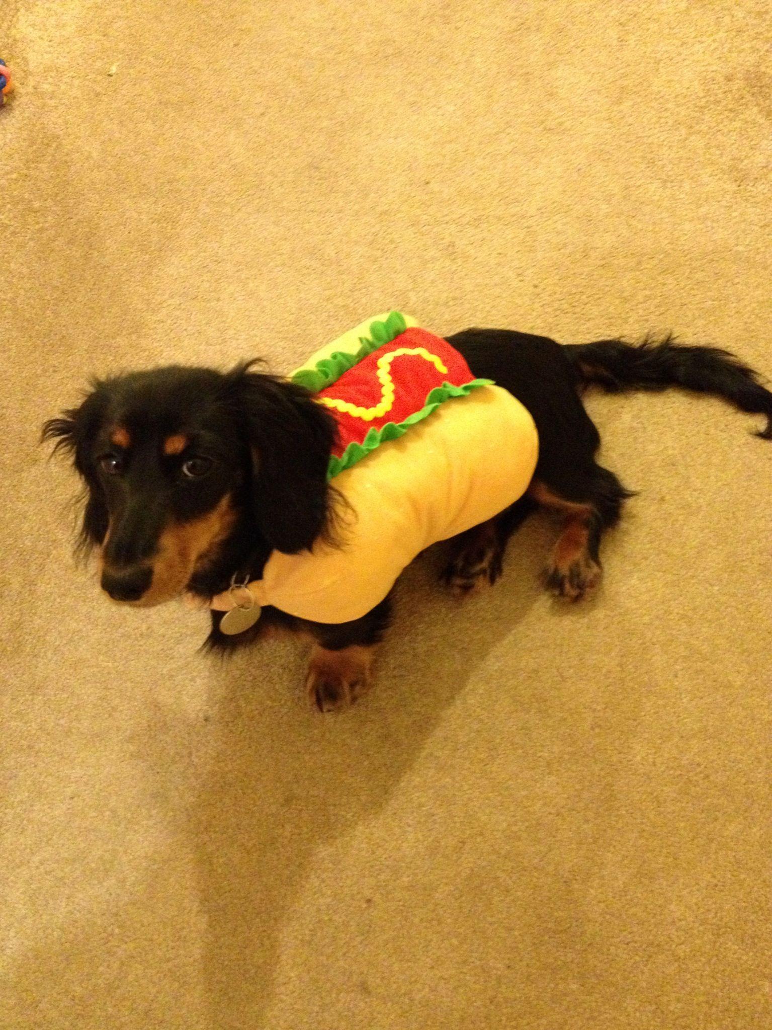 Hot Dog Dachshund Sausagedog Sausage Dog Dog Love Dogs