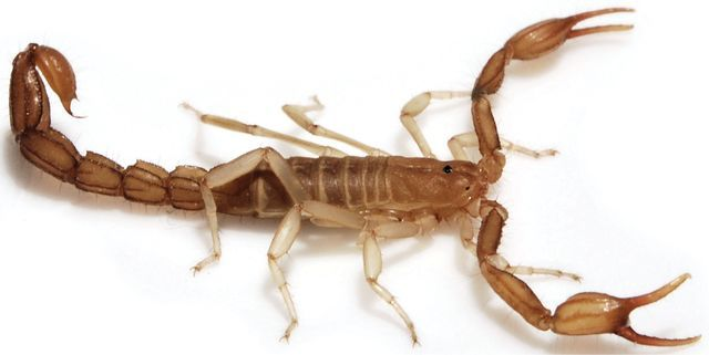 New Scorpion Species Discovered In California Wernerius Inyoensis Is Tiny Just Over Half An Inch Long And Death Valley Death Valley National Park Species