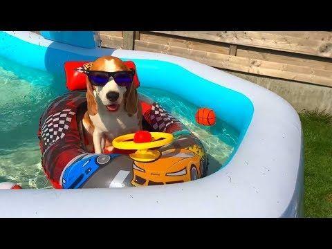Funny Dog Loves Hit Floaty Car Cute Dog Louie The Beagle