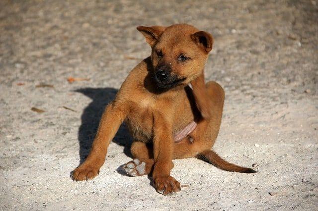 Ihr Hund kratzt sich ständig? An Ohr Bein Bauch oder sogar blutig? Diese Hausmittel gegen Juckreiz bei Hunden lindern & behandeln die Beschwerden natürlich