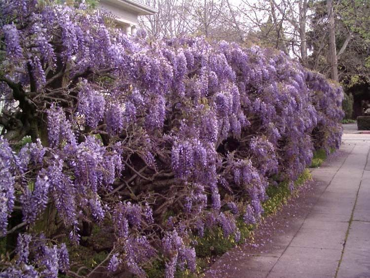 The Greek Paschalia Wisteria The Flower Of April Took Its Name From Pascha Easter Purple Wisteria Chinese Wisteria Wisteria