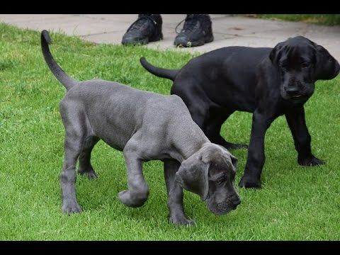 Great Dane Potty Training Free Mini Course Dog Breeds That