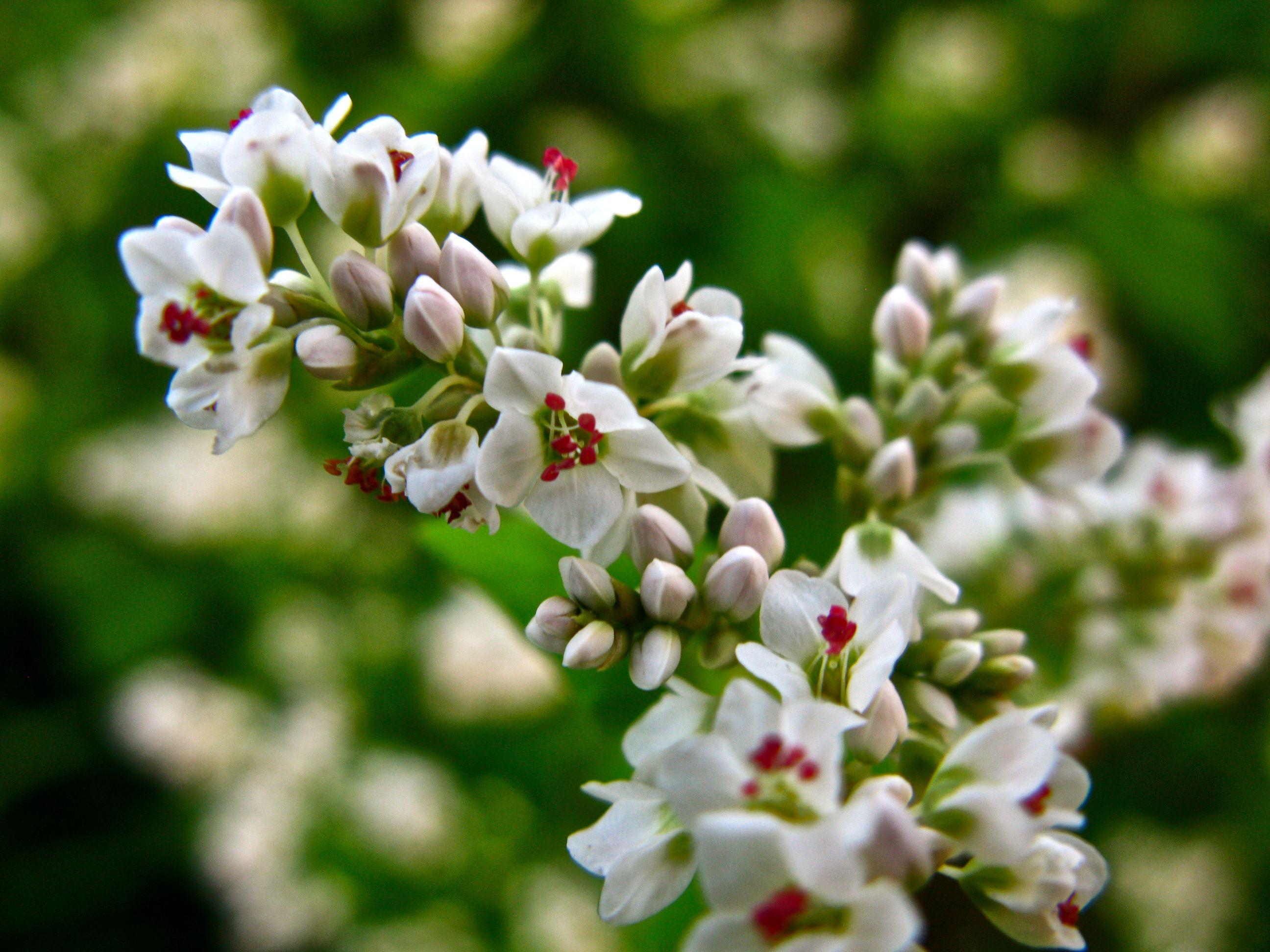 Buckwheat Flowers