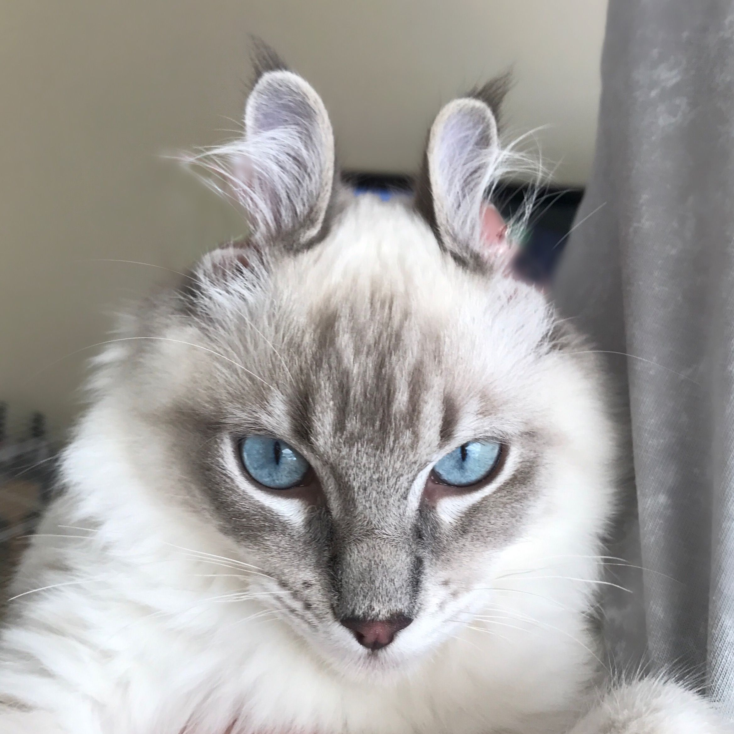 Ragdoll Kitten Cat Blueeyes Eyes Kitty Fluffy Cute Cats Pet Pets