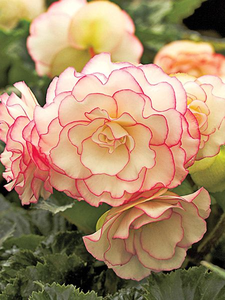 Really a standout variety that produces 5 glowing snow white really a standout variety that produces 5 glowing snow white flowers with delicate pink edges that really pop out of the rich green foliage angel mightylinksfo
