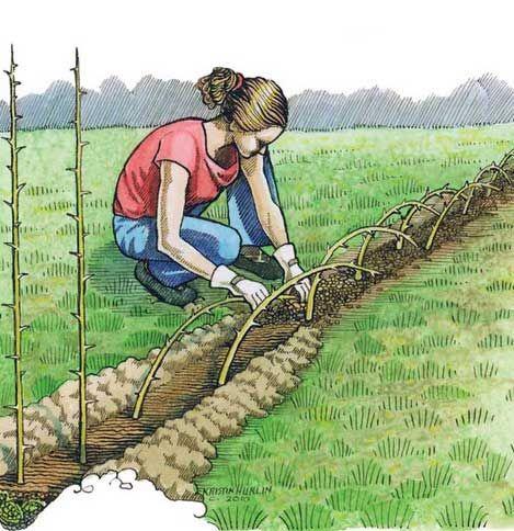 Tutti i tipi di piante da siepe con spine cerca con for Piccole piantine