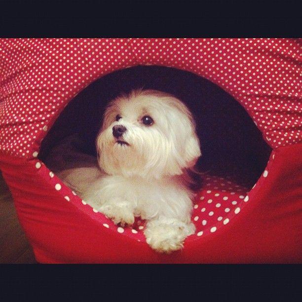 Pin By Dunja Curcic On Pet Me Human Teacup Puppies Maltese