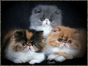 Three Different Beautiful Colors What More Could You Want In These Precious Faces So Darn Hugg Persian Cat Breeders Persian Kittens Cats
