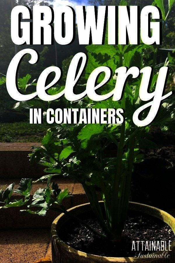 Growing celery in the home garden provides crunchy snacks and flavor for homemade soups and stews Celery will provide a harvest for months or even a couple of years makin...