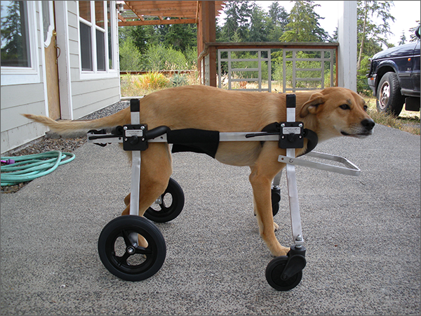 wheelchair dog baby swing vibrating chair full support by k9 carts custom made in the usa