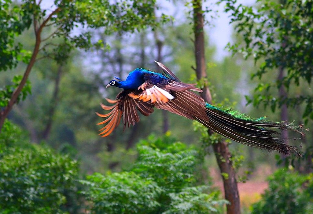 Peacocks Look Exactly Like Mythical Creatures Feeling Fun And - Flying peacocks look like mythical creatures