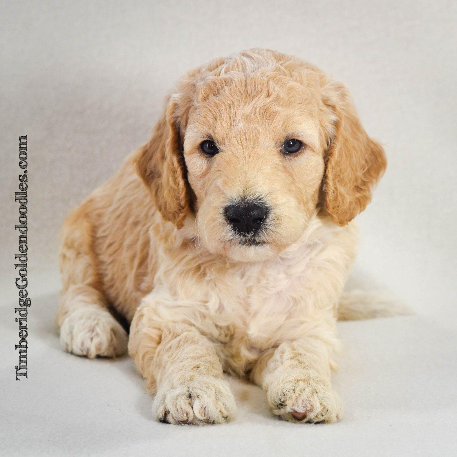 Junie S 2019 Medium English Goldendoodle Puppies Timberidge Goldendoodles English Goldendoodle Goldendoodle Puppy Goldendoodle