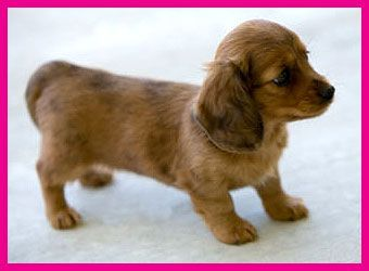 Sweetie Doxie Dachshunds For Sale Mini Dachshund Pets