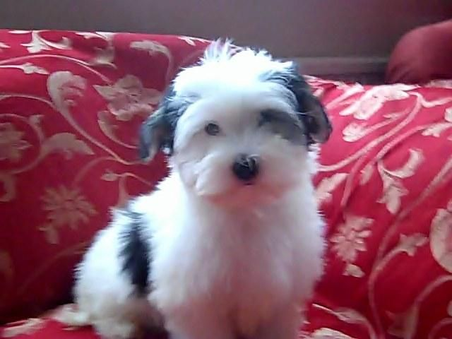 Havanese Puppies For Sale In Boston Lincolnshire Preloved Pets