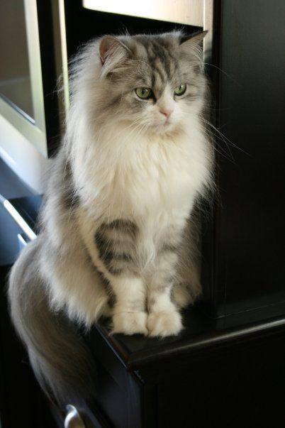 Half Persian Cat Persian Cat Kittens Cutest Cats And Kittens