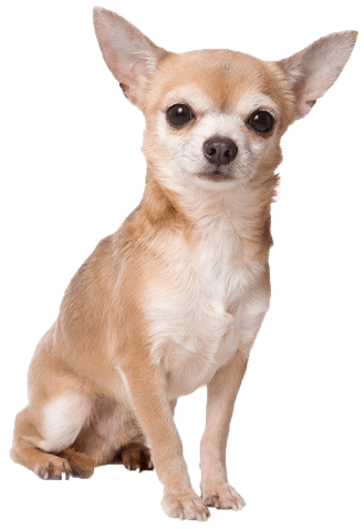 angry-chihuahua-meme.png 329×477 pixels | Dog breeds ...