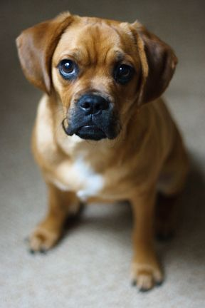 Love Them Puggles Puggles Puggle Puppies Puppies Famous Dogs