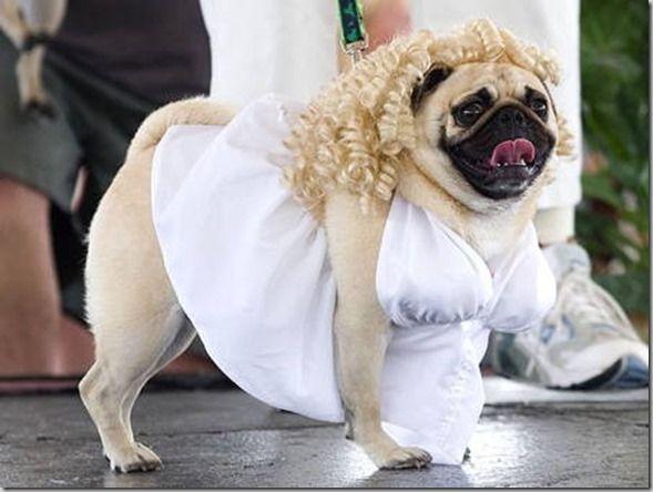 Funny Pug Halloween Costumes Pugs In Costume Pug Halloween