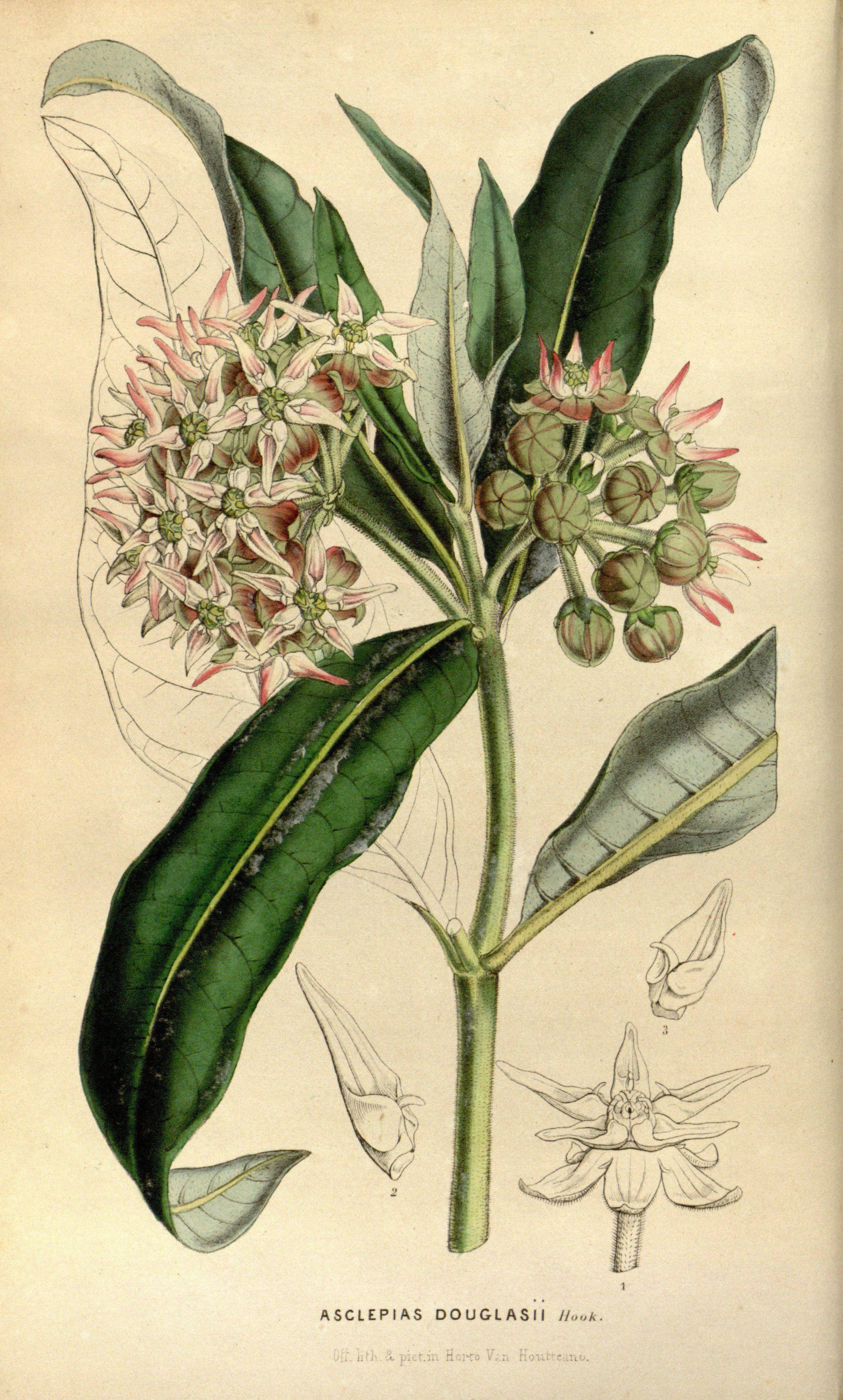 Asclepias speciosa -  Greek Milkweed - circa 1849