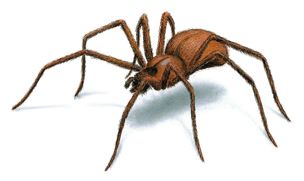 Brown Recluse Spiders: Facts, Identification, Behavior & Control ...