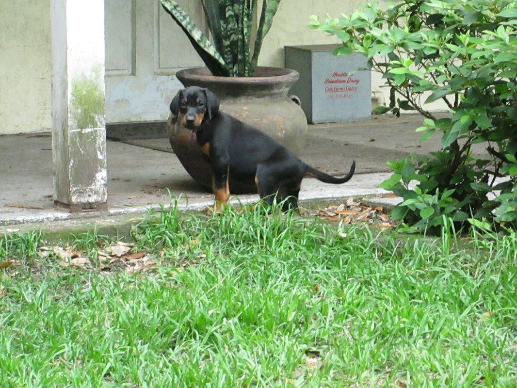 A.K.C. Doberman Puppies For SaleHawthorne FL Blog Life