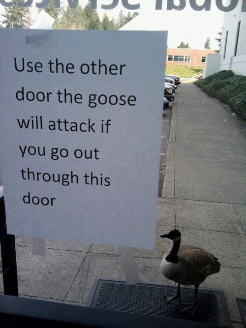 Lol! This reminds me of what it was like to have classes on the main campus at SIUE before pharm school. :) We often had to change our routes because of territorial geese during the day....and deer at night.  :)