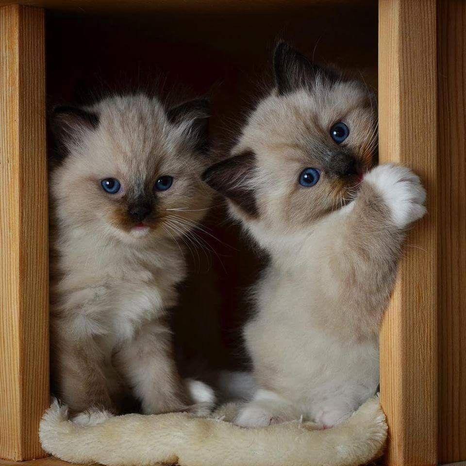 MunchkinCat Cute cats and kittens, Cute cats, Kittens