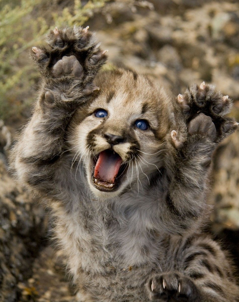 Mountain Lion Kitten With Blue Eyes Extends Paws Cute Animals Wild Animals Photos Baby Animals