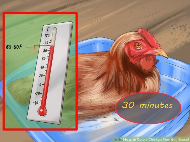 3 Ways to Cure a Chicken from Egg Bound - wikiHow