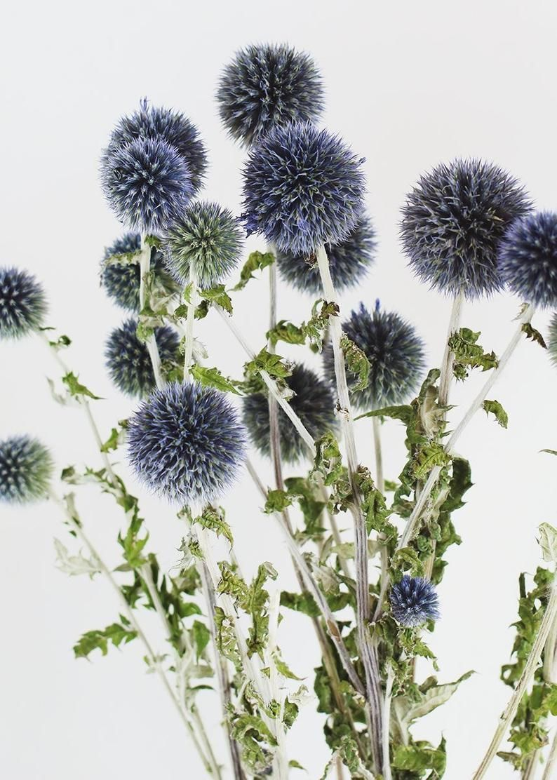 Dried Blue Thistle Dried Blue Billy Balls Blue Billy Buttons Globe Thistle Stem Blue Green Spiky Echinops Preserved Thistle Bride Diy Fall Wedding Flowers Dried Flowers Diy Wedding Bouquet Blue