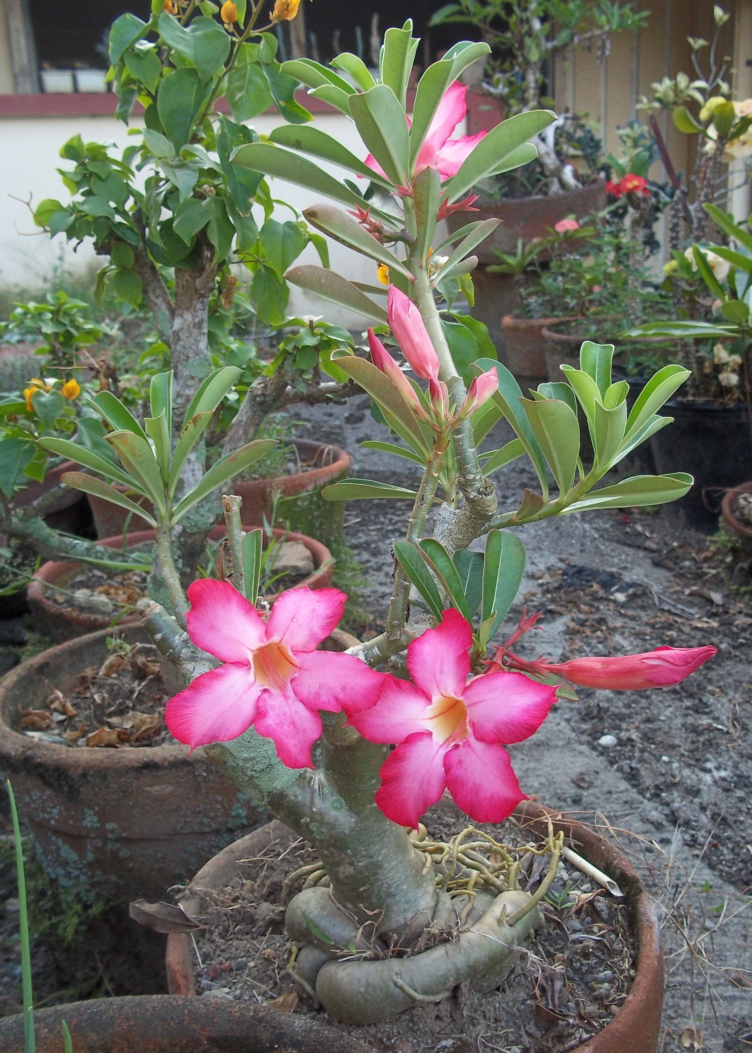 Kalachuchi On A Pot Flowers Pinterest Plants Container