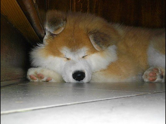 Chiot Akita Inu Akita Dog Akita Puppies Loyal Dog Breeds
