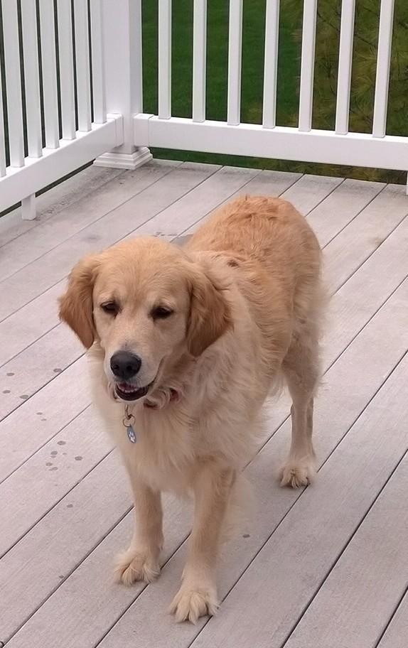 Adopt Sweetie Pie On Golden Retriever Rescue Dogs Golden