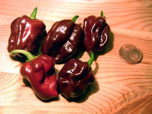 Chocolade Habenero of ook wel bruine habanero is nog net iets scherper dan zijn anders gekleurde broertjes.
