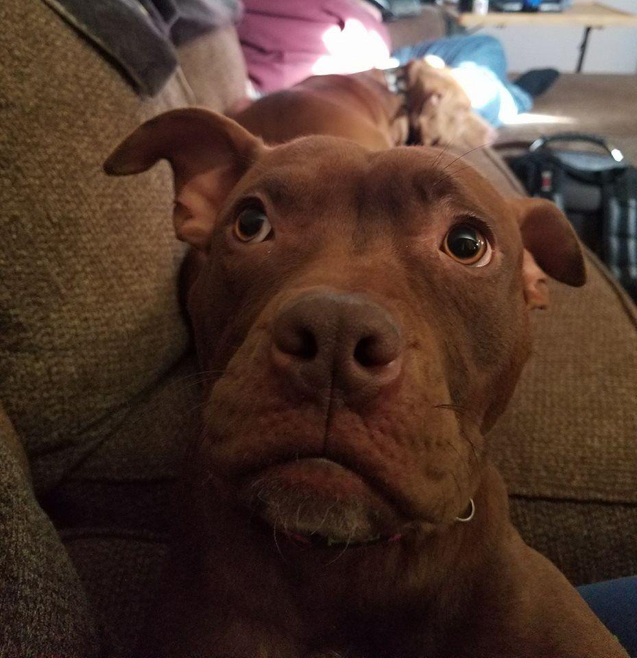 Pitbull puppy rescue michigan