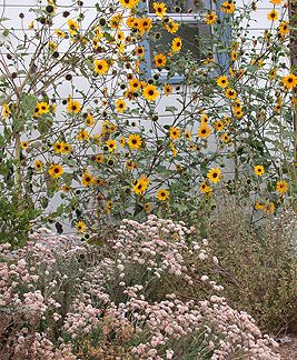 Delta Sunflower Love Driving By These On The Highway California Native Garden Beautiful Gardens Garden Inspiration