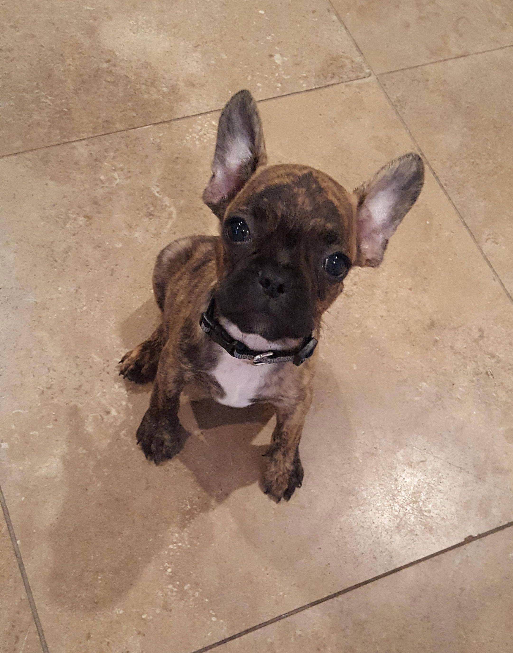 9 Weeks Old Reverse Brindle Frenchton Puppy Such A Cutie Pie