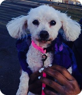 Toy poodle rescue new jersey