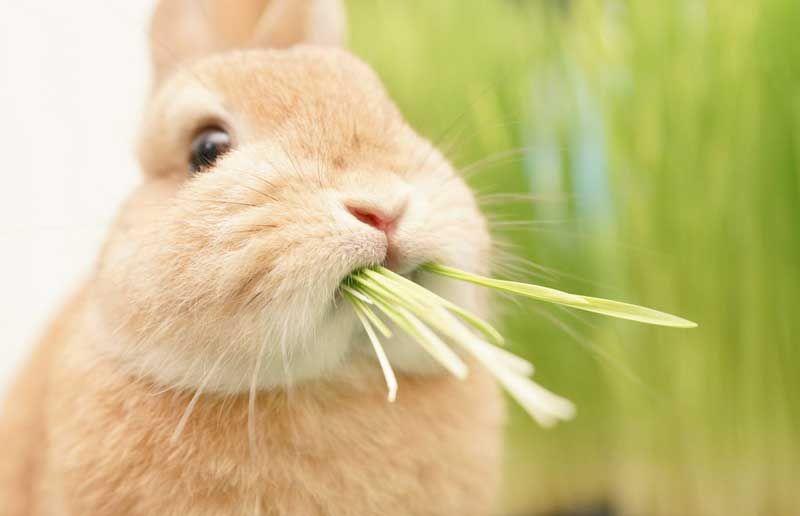 うさぎさんが見事な爆食いっぷり モフモフなほっぺとモグモグなお口がたまらないかわいさ ねとらぼ うさぎ 子ウサギ 動物